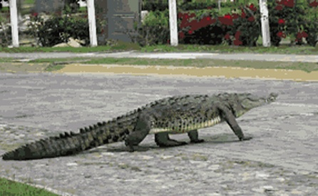 WOLF_blog_alligator-1.jpg